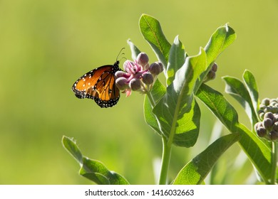 Queen Butterfly with Showy Milkweed at Grafton, Utah