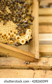 queen cell at the honeycomb edge