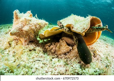 A queen conch feeding on the seabed.