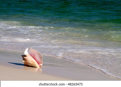 Queen conch, also known as a pink conch, lays on a sandy beach with the waves lapping at it.