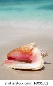 Queen Conch shell on a tropical beach