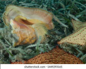 A Queen conch (Strombus gigas) lies on a shallow seagrass bed in the Caribbean Sea.