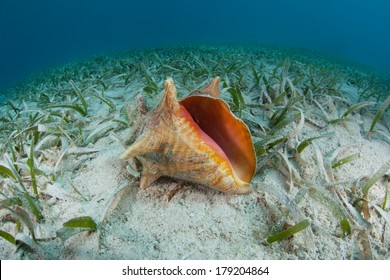 A Queen conch (Stromus gigas) lies on a shallow seagrass bed in the Caribbean Sea. This species is often collected for it edible meat throughout the region.
