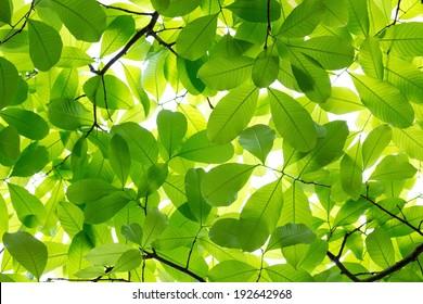 Queen Crape Myrtle green leaves background