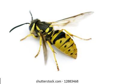 Queen Eastern Yellowjacket Wasp (Vespula maculifrons)