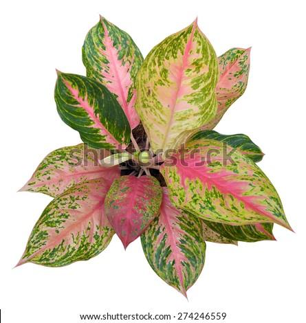Queen Leafy Plants Scientific Name Caladium Stock Photo Edit Now