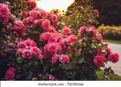 Queen Mary's Rose Gardens, London - 28 August, 2017: Roses garden