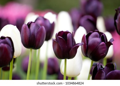 Queen of Night and Alabaster Tulips blooming