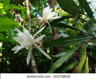 Night blooming images stock photos vectors shutterstock the queen of the night epiphyllum oxypetalum species of cactus plant produces nocturnal mightylinksfo