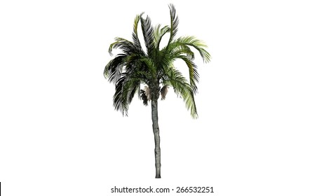 queen palm - isolated on white background
