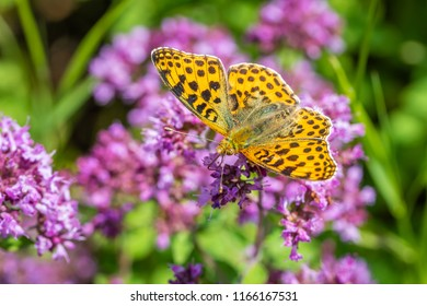 Queen of Spain fritillary foraging on a flower