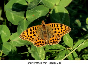 Queen of Spain Fritillary (Issoria lathonia) butterfly