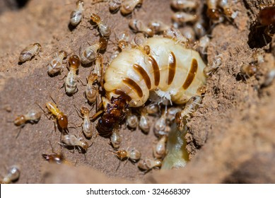 Queen termite surrounded by workers