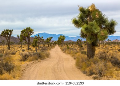 Queen Valley Road in Joshua Tree National Park featuring Joshua Trees (Yucca brevifolia).