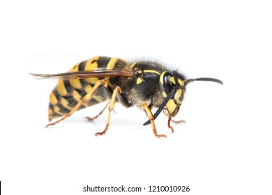 A queen Vespula social wasp or yellowjacket cleaning her antenna