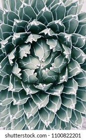 Queen Victoria Agave a desert plant. Pale tone image. Top view and close up photography.