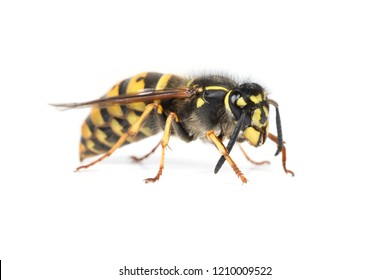 A queen wasp or yellowjacket cleaning her antennae
