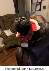 Queen Zazzles looking up in a Christmas collar