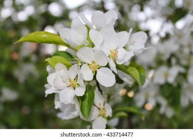 Queen-apple blooming