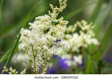 Queen-of-the-meadow , meadowsweet (Filipendula ulmaria) inflorescence on seaside meadow. Baltic sea, moist meadow