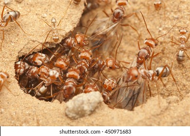 Queens of Saharan Silver Ant