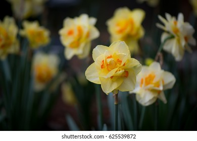 Queensday Daffodil Blooming with copy space to left