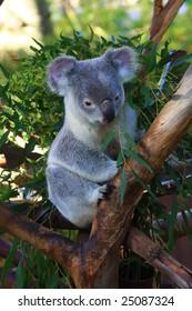 Queensland Koala (Phascolarctos cinereus)
