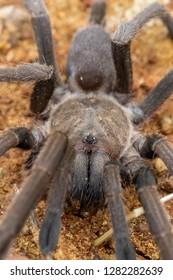 Queensland whistling tarantula (Selenocosmia crassipes). Mount Molloy, Queensland, Australia.