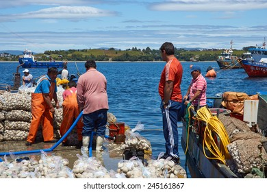 QUELLON, CHILE - JANUARY 16, 2015: Littleneck Clams (Ameghinomya antiqua) being landed and packed in mesh sacks on a jetty at the fishing port of Quellon on the island of Chiloe in Chile
