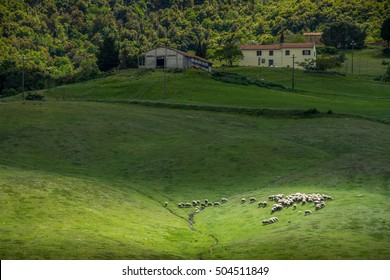 Querceto, Montecatini Val di Cecina, Pisa - Italy - Landscape with flock of sheep