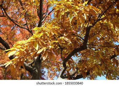 Quercus acutissima leaves that turned yellow in autumn