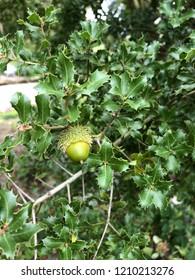 Quercus coccifera tree acorns, oak tree