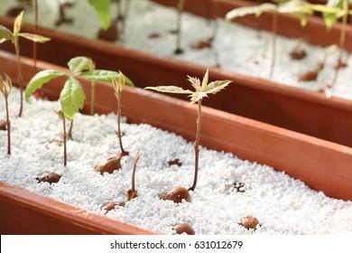 Quercus robur acorn sprouting