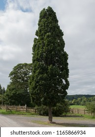 Quercus robur 'Fastigiata' (Cypress Oak) an Outdoor Car Park  in  Rural Devon, England, UK