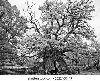 quercus robur, pedunculate oak,  English oak,  Rumskullaeken, Kvilleken in Norra Kvill, Smaland, Sweden, the oldest oak in Europe, black and white infrared recording