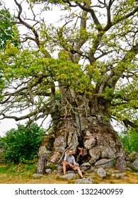 quercus robur, pedunculate oak,  English oak,  Rumskullaeken, Kvilleken in Norra Kvill, Smaland, Sweden, the oldest oak in Europe