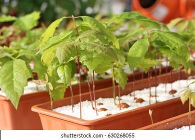 Quercus robur seedlings in perlite