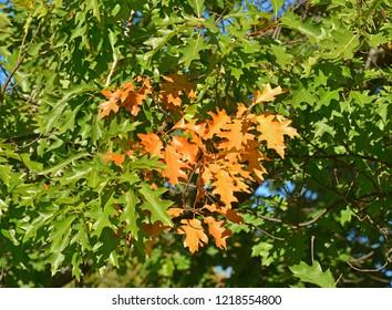 Quercus rubra (Quercus borealis). Branches and leaves