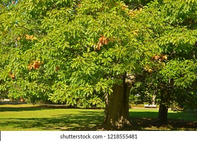Quercus rubra (Quercus borealis), commonly called northern red oak or champion oak, is oak in red oak group (Quercus section Lobatae)
