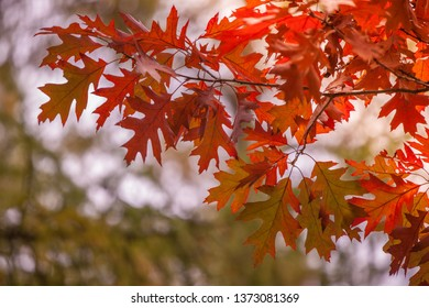 Quercus rubra (northern red oak) red leaves with green bokeh background