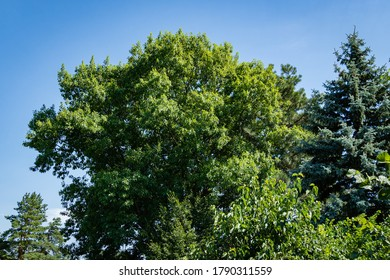 Quercus rubra red oak. Bright young lush foliage of red oak Quercus rubra against blue sky. Tall blue Christmas tree grows next to oak. landscaped garden. Nature of North Caucasus for design.