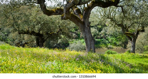 Quercus suber - Old cork oak tree in Alentejo during spring, landscape with blooming meadows of wildflowers and fresh young grass, Portugal, Europe. Beautiful day in the meadows.