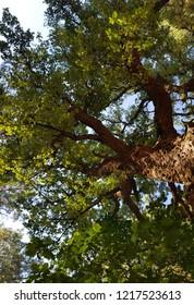 QUERCUS SUBER TREE