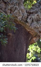 quercus suber tree, cork oak or quercus suber in sardinia in mediterranean