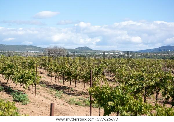 Queretaro landscape of vineyard Mexico