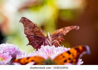 Question mark butterfly macro shot