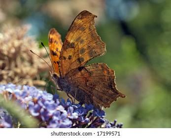 Question Mark Butterfly on liliac bush
