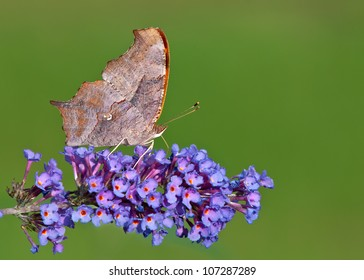 Question Mark butterfly (Polygonia interrogationis) feeding on purple butterfly bush flowers. Underside ventral view. Natural green background with copy space.