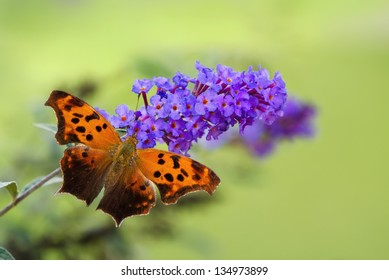 Question Mark butterfly (Polygonia interrogationis) feeding on purple butterfly bush flowers. Natural green background with copy space.