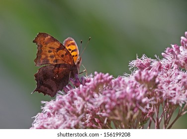 A Question Mark butterfly (Polygonia interrogationis) feeding on a flower.  Shot in Kitchener, Ontario, Canada.